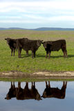 Black Angus Cattle Stock Images