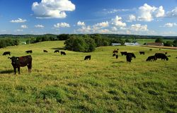 Black angus cattle in pasture. Angus cattle grazing in pasture in the Missouri river basin Royalty Free Stock Images