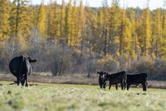 Black Angus cattle in a pasture in late autumn stock photo