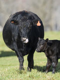 Black Angus Cow and calf Royalty Free Stock Photos