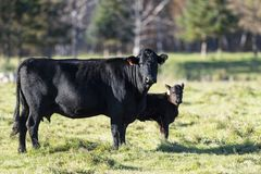 A Black Angus cow and calf. In a pasture in Minnesota on a late autumn day stock image