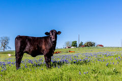 A Black Angus Cow in a Field of Bluebonnets Royalty Free Stock Image