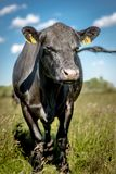 Black angus cow on grass in sunny day.  stock photography