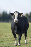 Black Angus Cow. A Black Angus cow in a pasture in late autumn stock photos
