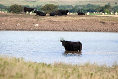 Black Angus Cow in Pond. Black Angus cow cooling off in stock pond on a hot summer day with more cows and hay bales in background Royalty Free Stock Photography