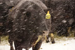 Black angus cow in the snow. Royalty Free Stock Images