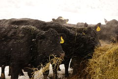 Black angus cows feeding in the snow. Royalty Free Stock Photography