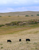 Black Angus cows grazing. Stock Image