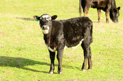 Black Angus Cross Stock Photography