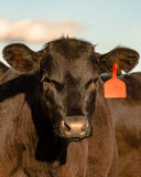 Black Angus heifer face Royalty Free Stock Photography