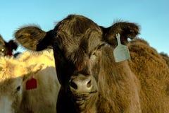 Black Angus heifer face Royalty Free Stock Photo