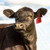Black Angus heifer face - square Royalty Free Stock Photos