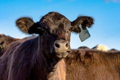 Black Angus heifer Royalty Free Stock Images