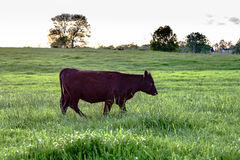 Black Angus heifer walking Stock Photography