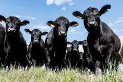 Black Angus herd - low angle