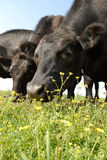 Black Angus Stare. Black Angus Staring at Crow Farm in Kennedyville, Maryland Royalty Free Stock Photography