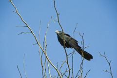 Black ani, kind of the South American cuckoo Stock Photography