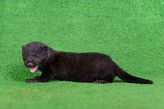 Black animal mink Stock Image