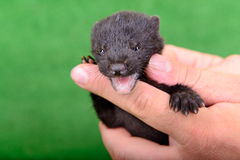 Black animal mink Royalty Free Stock Images