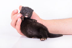 Black animal mink Royalty Free Stock Photo