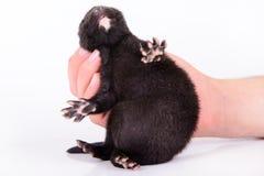 Black animal mink Royalty Free Stock Image
