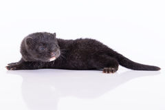 Black animal mink Stock Photography