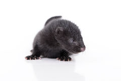Black animal mink Royalty Free Stock Photos
