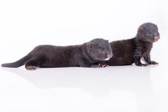 Black animal mink Royalty Free Stock Image
