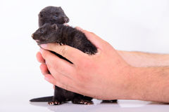 Black animal mink Stock Photo