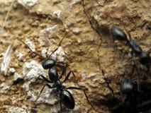 Black ant. Macro view royalty free stock photos
