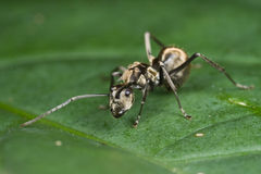 A black ant Royalty Free Stock Image