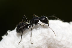 Black ant Royalty Free Stock Images