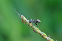 Black ant. Huge black ant stay on leaf stock images