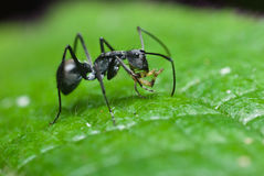 A black ant Royalty Free Stock Images