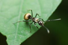 A  black ant Royalty Free Stock Photos
