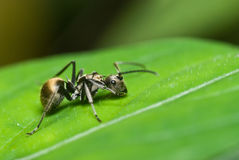 A black ant Stock Photography