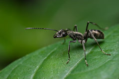 A black ant Stock Photos