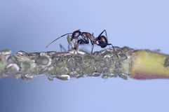 Black ant and aphid Royalty Free Stock Photo