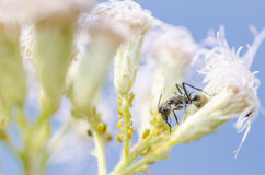 Black ant and aphids in green nature. Or in the garden Stock Photo