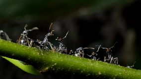 Black ant on branch after rain