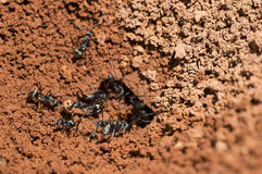 Black Ant Building Nest Royalty Free Stock Photography