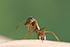 Black ant is cleaning himself Stock Photo