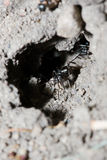 Black Ant Cleaning it's House Stock Images