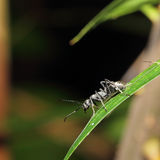 Black ant Stock Photography