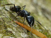 Black Ant closeup Stock Photography
