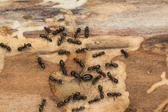 Black ant colony with queen Royalty Free Stock Photo