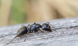 Black ant is creeping on the wooden board Royalty Free Stock Images