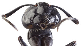 Black Ant Cutout. Low Scale Magnification of Black Ant Stock Photo