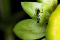Black ant on dahlia bud Stock Image