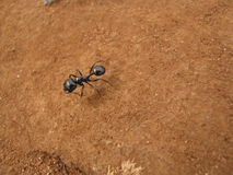A black ant Royalty Free Stock Photo